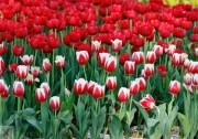 đỏ viền trắng